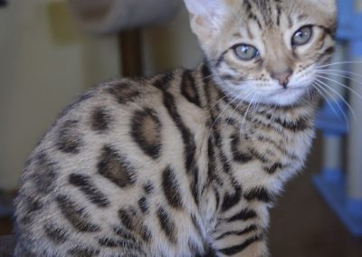 bengal kitty